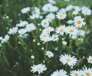 daisies, nature, and flowers image