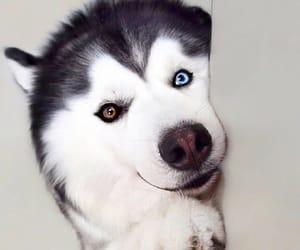 dog, animal, and blue eyes image