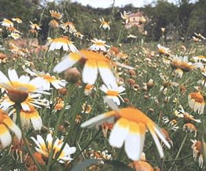 daisies, flowers, and gif image