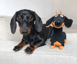 dachshund, dogs, and animals image