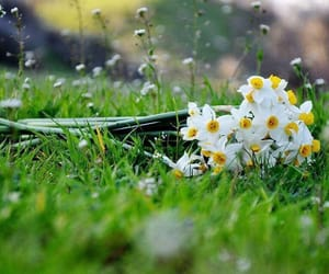 daffodils, flowers, and grass image