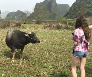 china and cow image