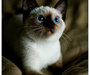 cats, siamesecats, and kittens image