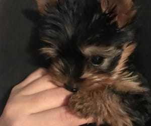 bite, puppy love, and yorkie image