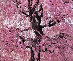 cherry, cherry blossoms, and cherry tree image
