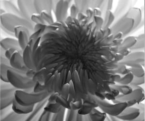 b&w, flowers, and gray image