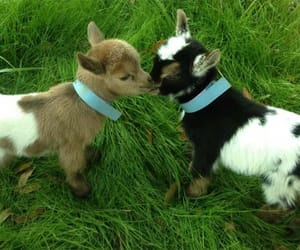 animals, baby goat, and farm image