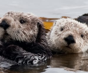 otter, wildlife, and sea otter image