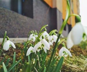 flower, snowdrop, and garden image