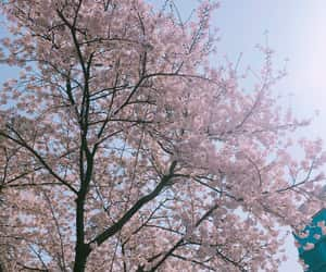 aesthetic, blossoms, and cherry blossom image