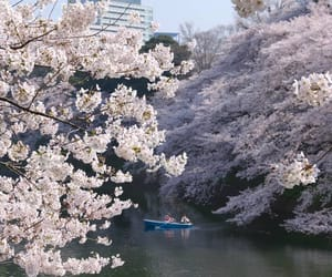 cherry blossoms, japan, and Nippon image