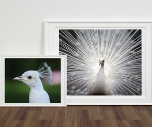 peacock gift, peacock poster, and etsy image