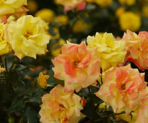 flowers, rose garden, and garden image