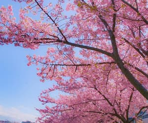 blossom, blossoms, and flower image