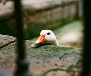 goose, photography, and cute image