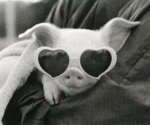 pig, black and white, and sunglasses image