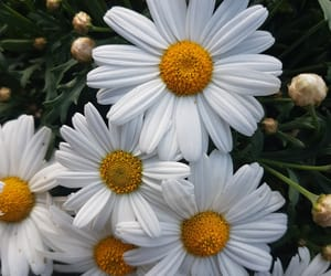 daisy, flower, and spring image