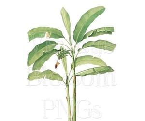 banana leaf, botany, and png images image