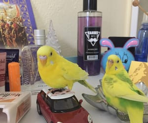 amateur, bird, and budgie image