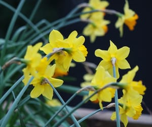 april, daffodil, and easter image