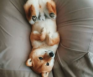 shiba inu, cute, and dog image