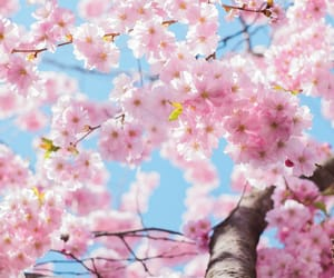 cherry blossom, nature, and pastel image