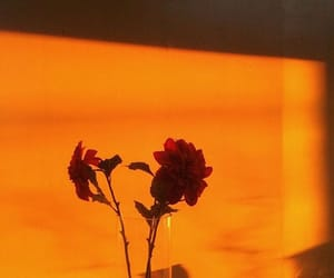 orange, rose, and aesthetic image