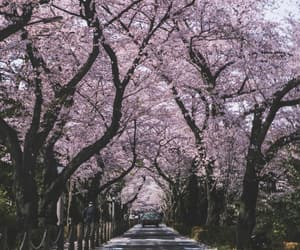 aesthetic, asian, and cherry blossom image