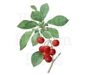 cherries, cherry, and vintage graphics image