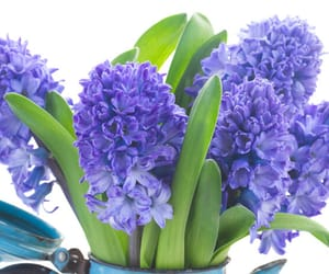blue, hyacinth, and spring image