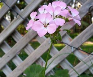 flower, geranium, and pink image
