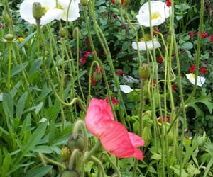 anemone, flower, and spring image