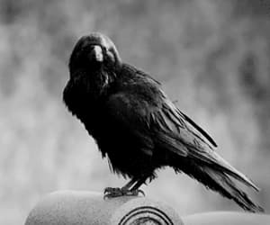 black, goth, and crow image