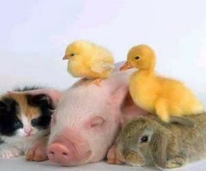 cat, duck, and pig image