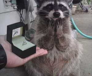 explore, funny, and raccoon image