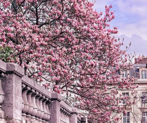 magnolia, pink, and spring image