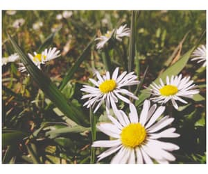 aesthetic, daisy, and white image