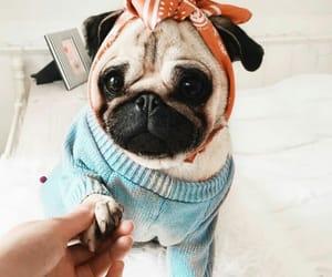adorable, pet, and pug image