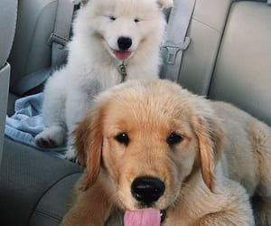 labradoodle and dog image