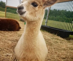 animals and lama image