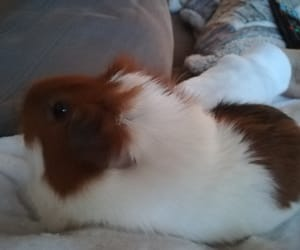 animal, loveable, and guineapig image