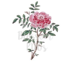 antique rose, clipart, and etsy image