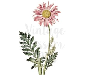 clipart, daisies, and daisy image
