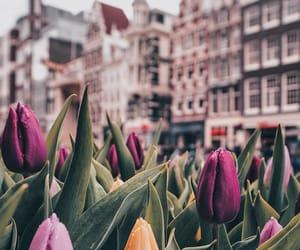 europe, netherlands, and tulips image