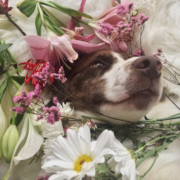 article, labrador, and australian shepherd image