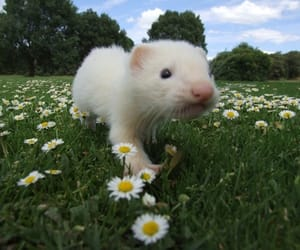 ferret, animal, and cute image