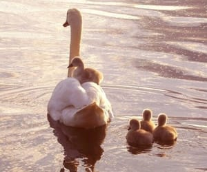 Swan, animal, and cute image