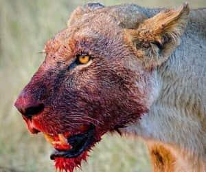 blood, lion, and animal image