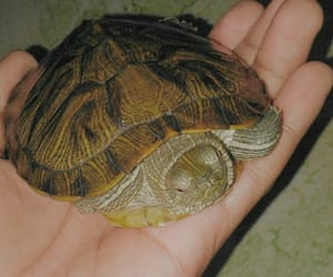 pet, turtle, and cute image