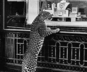 cartier, tiger, and black and white image